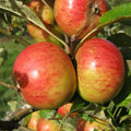 Fruit Trees: Apple trees, (Kent 2008)