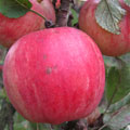 Fruit Trees: Apple trees, (Kent c. 1984) Grimes Golden x Cox's Orange Pippin