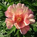 Peonies: ITOH Peony, (Anderson)