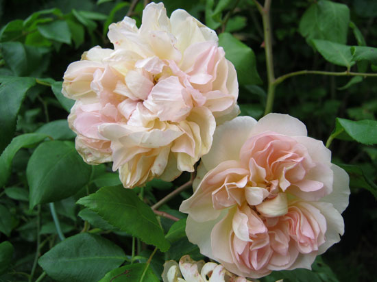 climbing roses from carrob growers | pruning tips | rose growing tips
