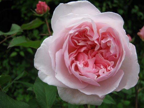 specialist growers shrub roses alba bourbon china